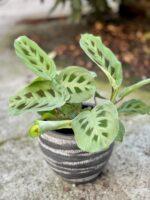 Zdjęcie rośliny Marantha Leuconeura Kerchoveana, ujęcie 1
