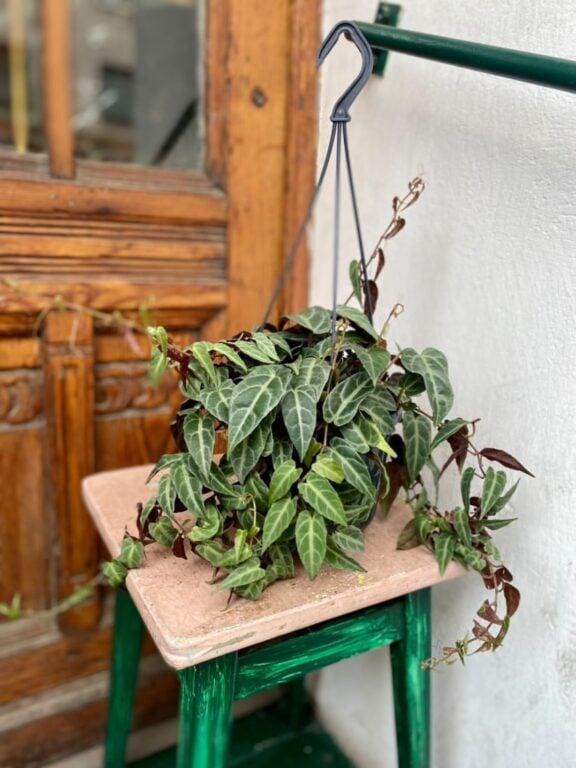 Zdjęcie rośliny Parthenocissus Amazonica, ujęcie 1