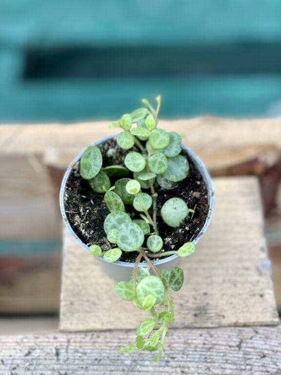 Zdjęcie rośliny Peperomia Prostrata, ujęcie 1