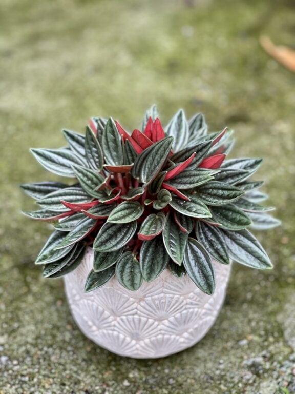 Zdjęcie rośliny Peperomia Rosso, ujęcie 1