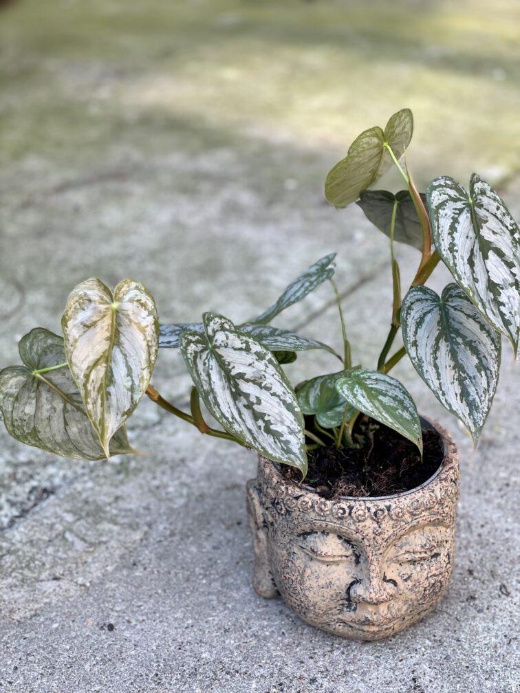 Zdjęcie rośliny Philodendron brandtianum, ujęcie 1