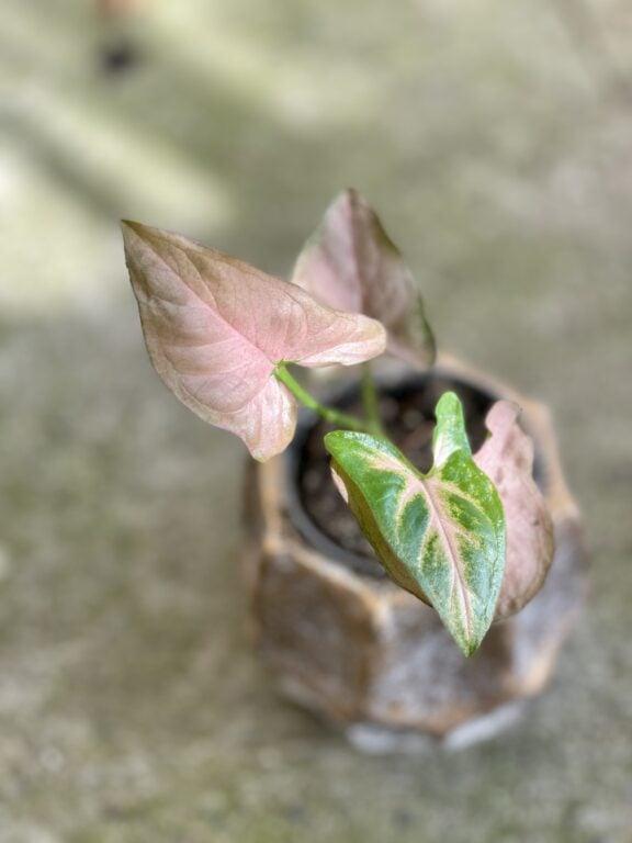 Zdjęcie rośliny Syngonium Regina Red, ujęcie 1