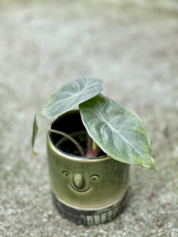 Zdjęcie rośliny Alocasia Ivory Coast, ujęcie 1