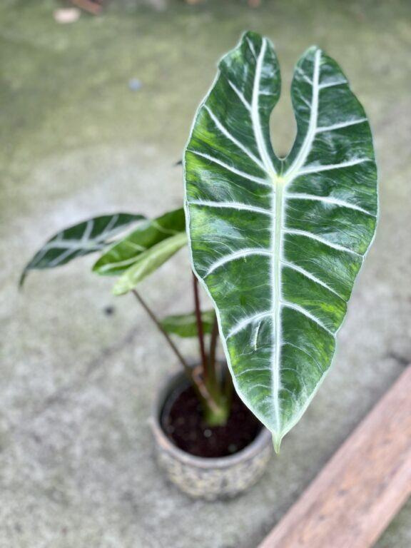 Zdjęcie rośliny Alocasia Longiloba, ujęcie 1