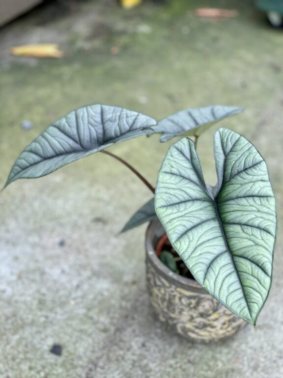 Zdjęcie rośliny Alocasia platinum, ujęcie 1
