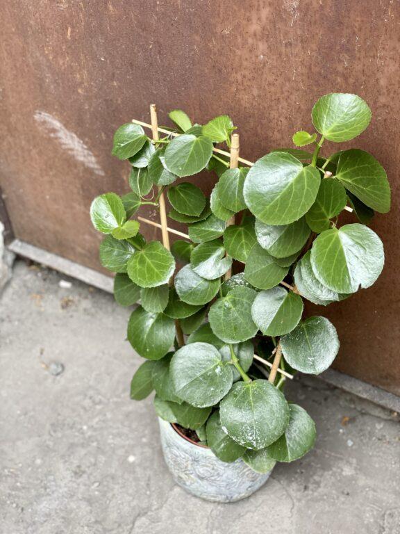 Zdjęcie rośliny Cissus Rotundifolia, ujęcie 1