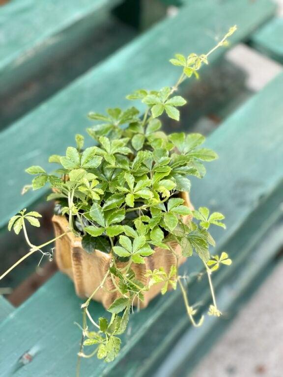 Zdjęcie rośliny Cissus striata, ujęcie 1