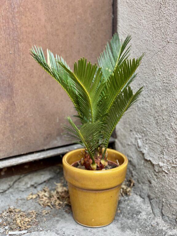 Zdjęcie rośliny Cycas Revoluta, ujęcie 1