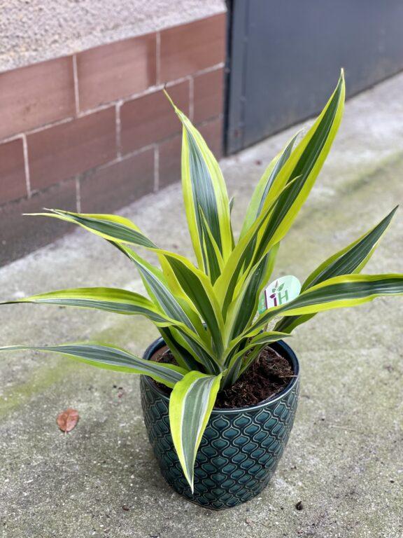 Zdjęcie rośliny Dracaena Lemon Lime, ujęcie 1