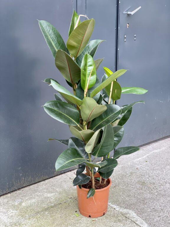 Zdjęcie rośliny Ficus elastica Robusta, ujęcie 1