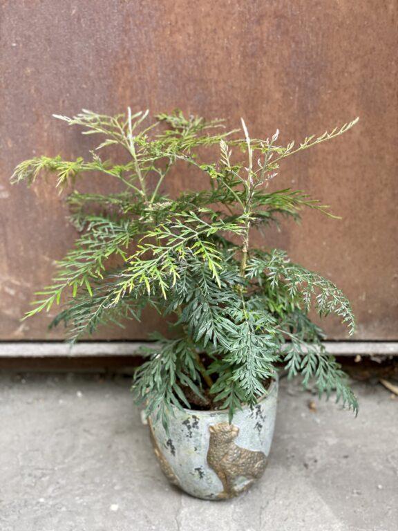 Zdjęcie rośliny Grevillea robusta Morelips, ujęcie 1