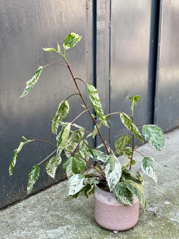 Zdjęcie rośliny Hibiscus rosa-sinensis variegatus, ujęcie 1