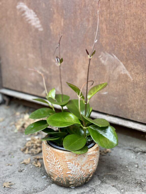 Zdjęcie rośliny Hoya australis, ujęcie 1