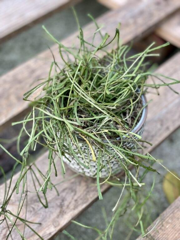 Zdjęcie rośliny Hoya retusa, ujęcie 1