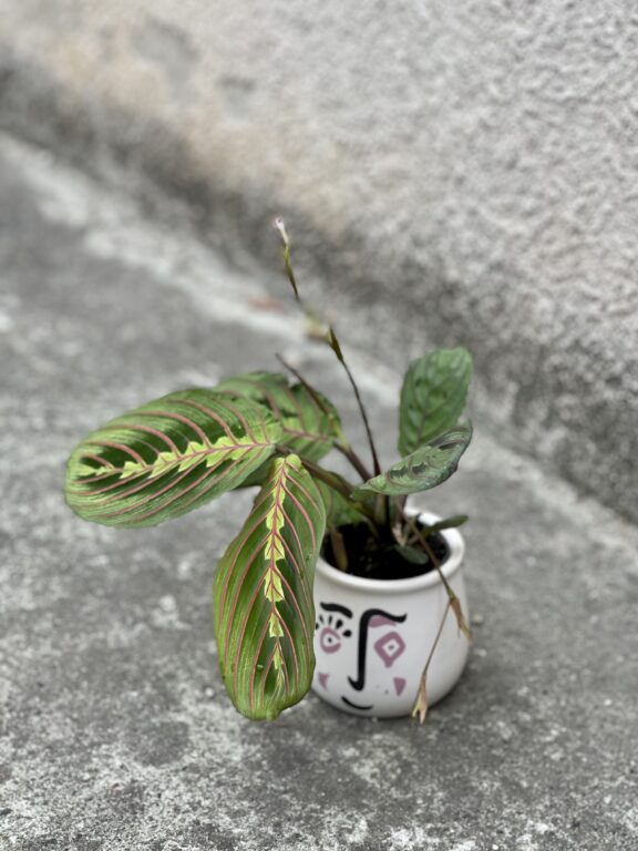 Zdjęcie rośliny Marantha Fascinator Tricolor, ujęcie 1