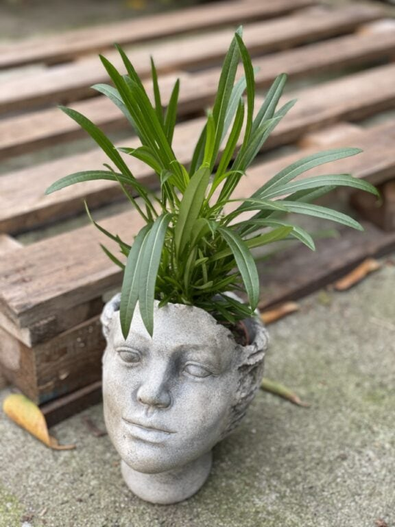 Zdjęcie rośliny Pachypodium Lamerei, ujęcie 1