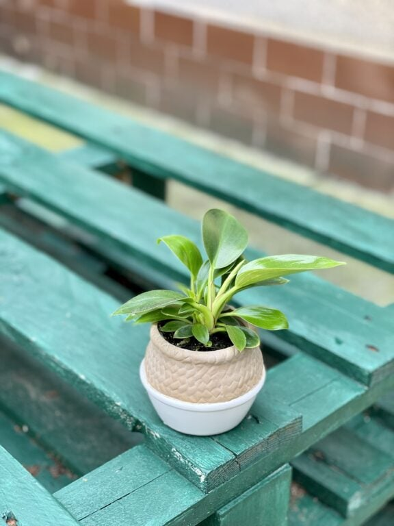 Zdjęcie rośliny Philodendron Birkin, ujęcie 1