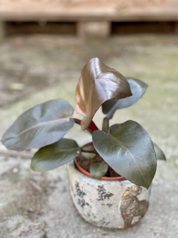 Zdjęcie rośliny Philodendron Black Cardinal, ujęcie 1