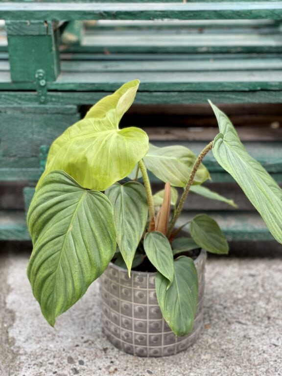 Zdjęcie rośliny Philodendron Fuzzy Petiole, ujęcie 1