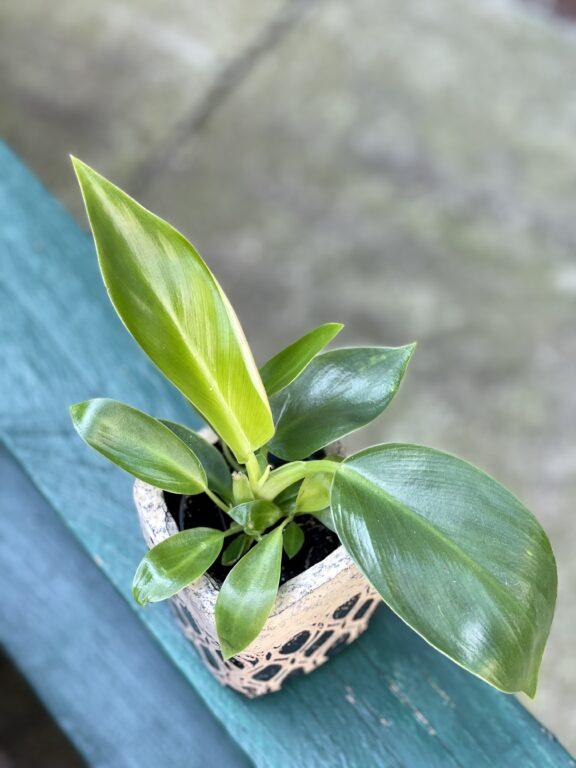 Zdjęcie rośliny Philodendron Little Phil, ujęcie 1