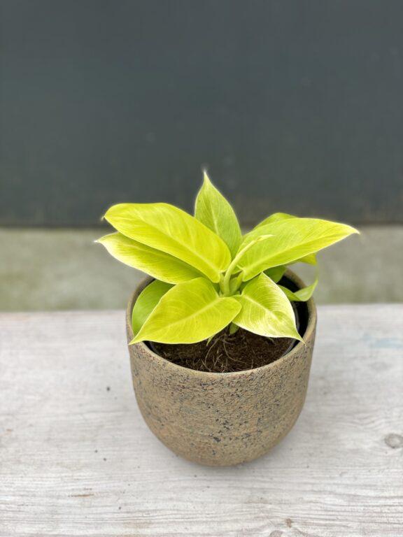 Zdjęcie rośliny Philodendron Moonlight, ujęcie 1