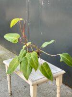 Zdjęcie rośliny Philodendron Painted Lady, ujęcie 1
