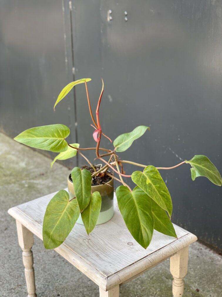 Zdjęcie rośliny Philodendron Painted Lady, ujęcie 2