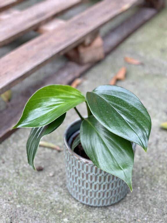 Zdjęcie rośliny Rhaphidophora decursiva, ujęcie 1