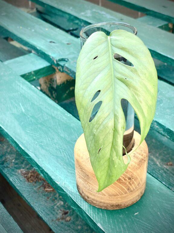 Zdjęcie rośliny Sadzonka Epipremnum Cebu Blue, ujęcie 1