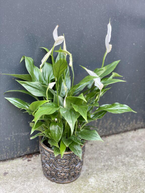 Zdjęcie rośliny Spathiphyllum (Skrzydłokwiat), ujęcie 1