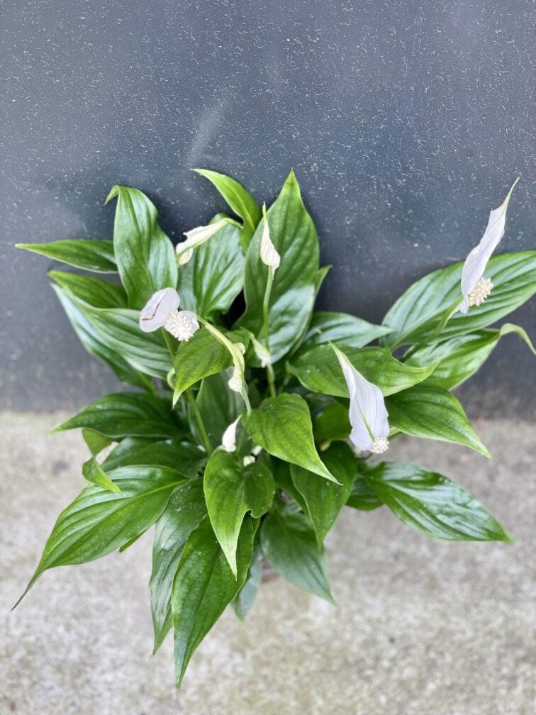 Zdjęcie rośliny Spathiphyllum (Skrzydłokwiat), ujęcie 2