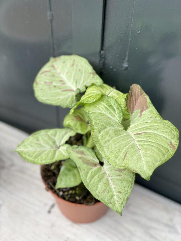 Zdjęcie rośliny Syngonium Confetti, ujęcie 1