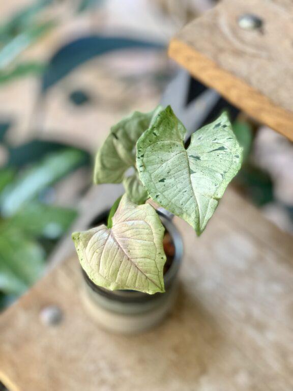 Zdjęcie rośliny Syngonium Green Splash, ujęcie 1