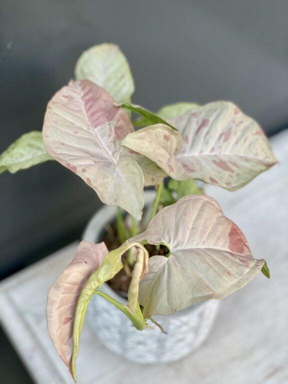 Zdjęcie rośliny Syngonium Pink Spot, ujęcie 1