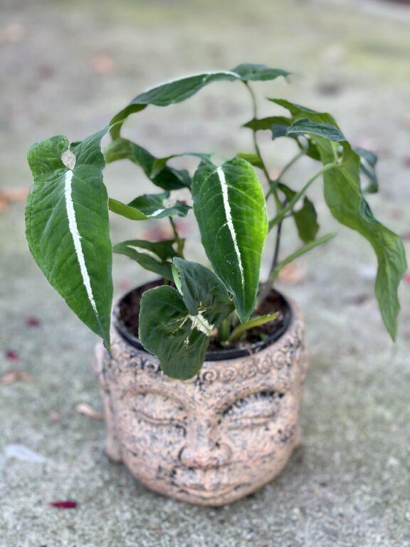 Zdjęcie rośliny Syngonium Wendlandii, ujęcie 1