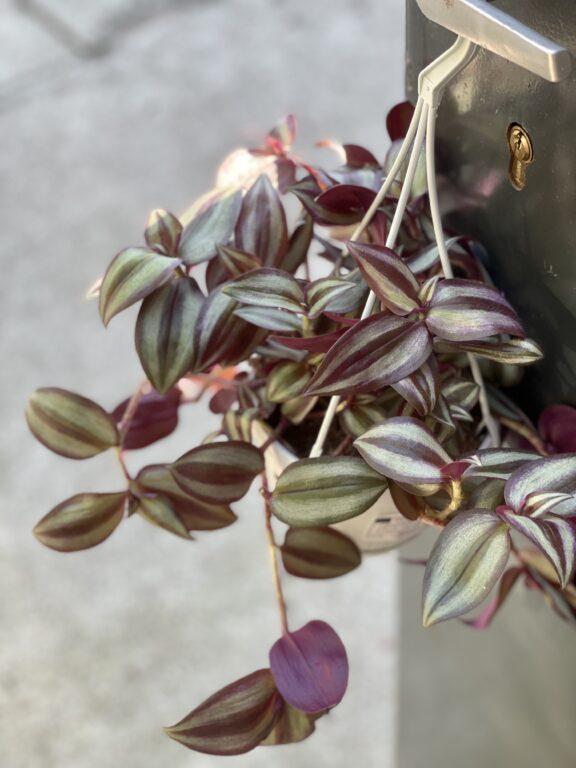 Zdjęcie rośliny Tradescantia zebra Violet Hill (Trzykrotka), ujęcie 1