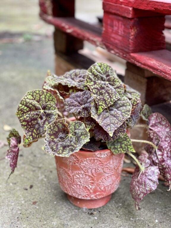 Zdjęcie rośliny Begonia bowera Green Fever, ujęcie 1
