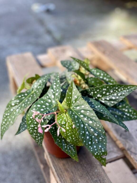 Zdjęcie rośliny Begonia Snow Capped, ujęcie 1