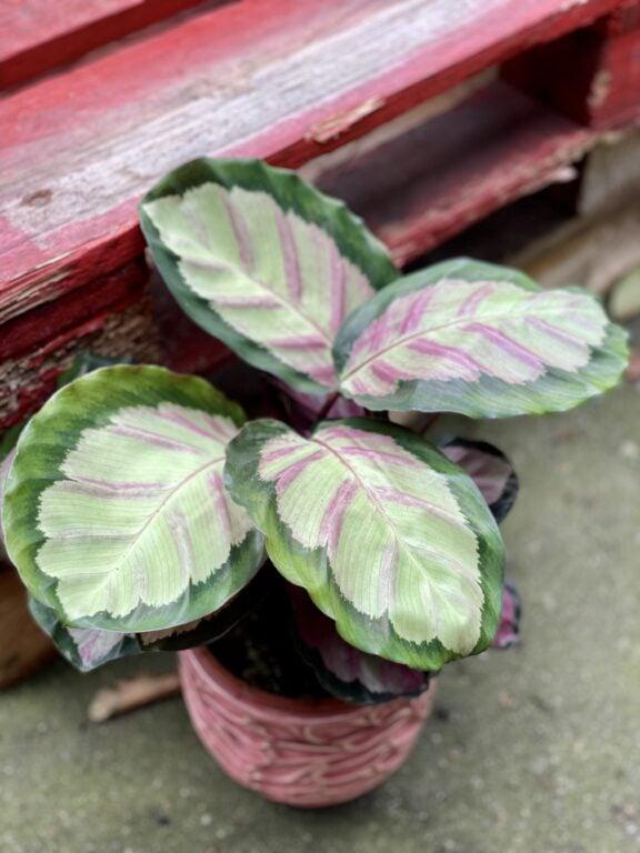 Zdjęcie rośliny Calathea roseopicta Silvia, ujęcie 1