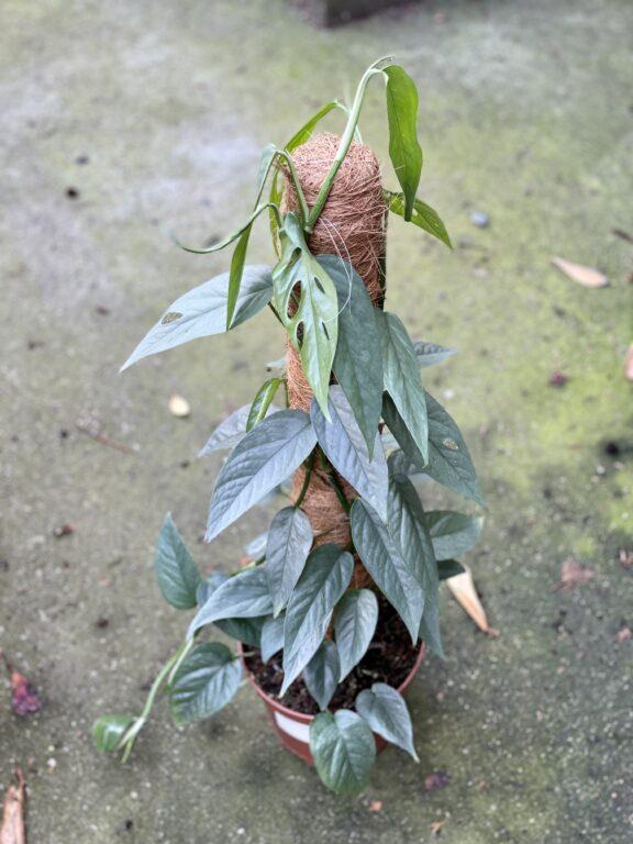 Zdjęcie rośliny Epipremnum Cebu Blue, ujęcie 1
