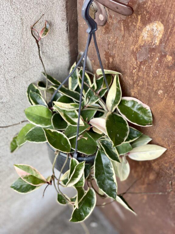 Zdjęcie rośliny Hoya krimson queen, ujęcie 1