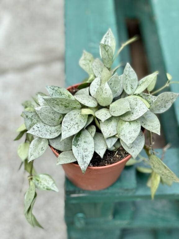 Zdjęcie rośliny Hoya krohniana eskimo, ujęcie 1