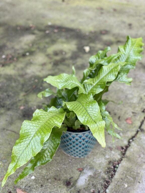 Zdjęcie rośliny Microsorum musifolium Crocodyllus, ujęcie 1