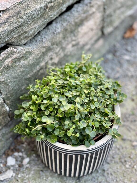 Zdjęcie rośliny Peperomia Bangroana, ujęcie 1