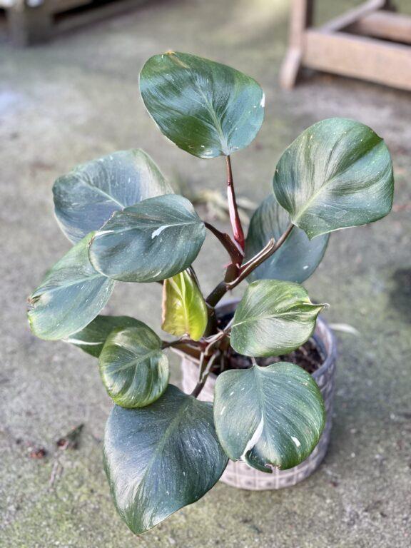 Zdjęcie rośliny Philodendron White Knight I, ujęcie 1