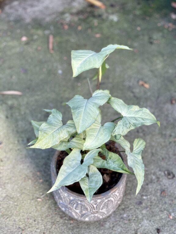 Zdjęcie rośliny Syngonium Nguengi Laima, ujęcie 1