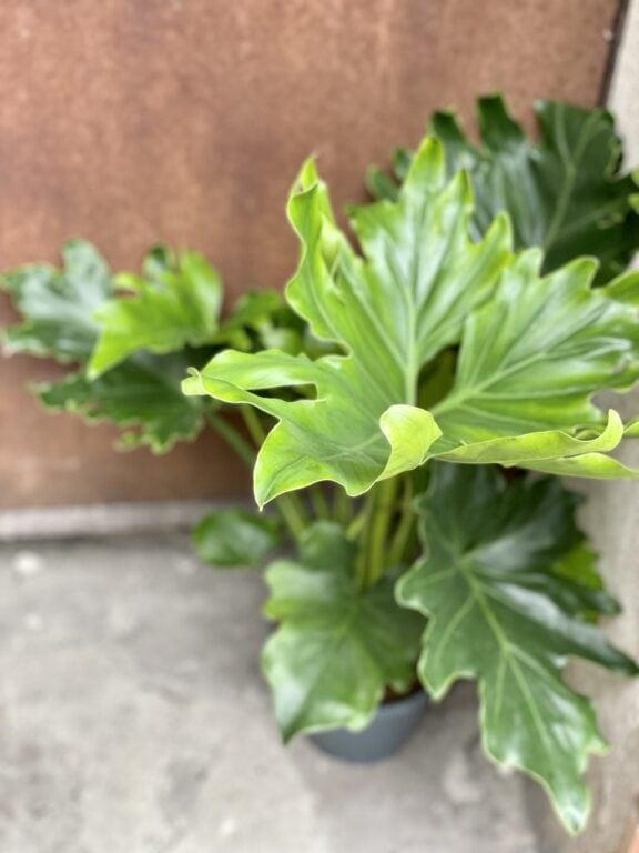Zdjęcie rośliny Thaumatophyllum Bipinnatifidum (Filodendron Podwójnie Pierzasty), ujęcie 1
